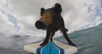 Ecco Kama, il maialino amante del surf