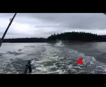 Orca lancia in aria un leone marino con la coda