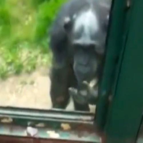 Scimmia cerca di convincere turisti ad aprirle la gabbia    ...