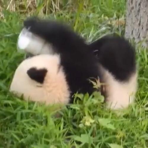 Il panda che cade e si rotola