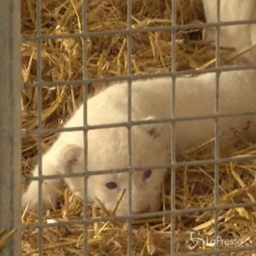 La tenerezza di 4 cuccioli di leone albini appena nati