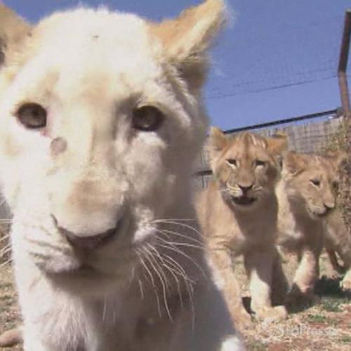 Tre cuccioli di leone mostrati al pubblico a Johannesburg: ...