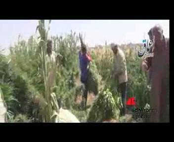 Siria, Isis da fuoco a un campo di marijuana