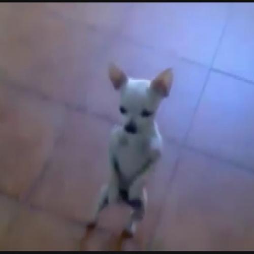 Il Chihuahua ballerino di flamenco