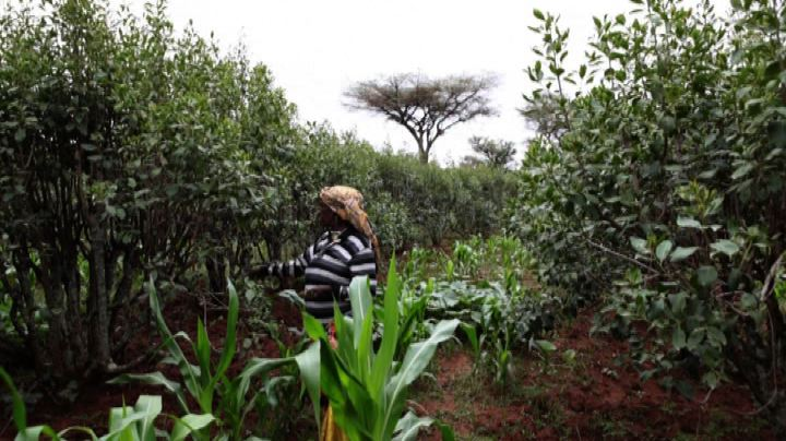 Etiopia, il declino del commercio e dell'economia del khat  ...