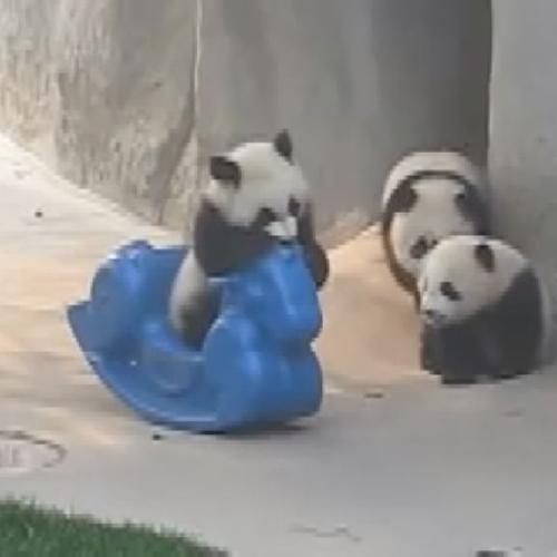 Piccolo panda cavalca il pony giocattolo