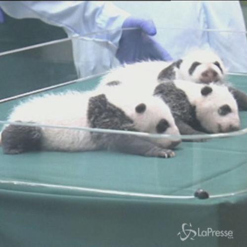 Tre tenerissimi panda gemelli in Cina compiono un mese e ...