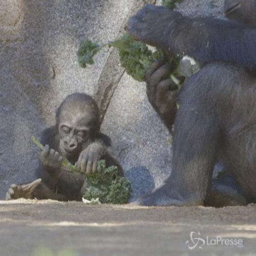 Baby gorilla nasce da parto cesareo allo zoo di San Diego   ...