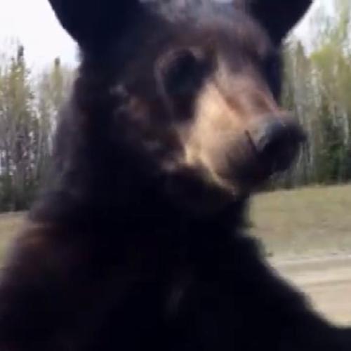 Incontro ravvicinato con gli orsi
