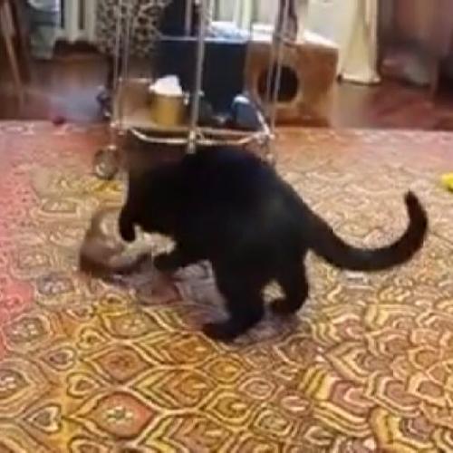 L'ermellino gioca con il gatto e manda il felino in ...