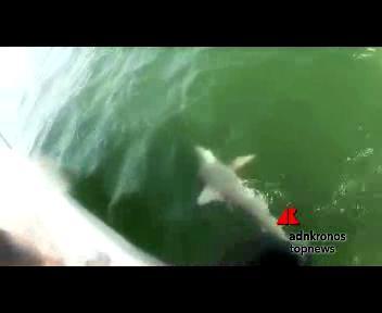 La cernia 'Golia' che mangia gli squali
