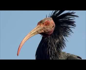 Il volo dell'Ibis eremita sulla 'Grande bellezza'