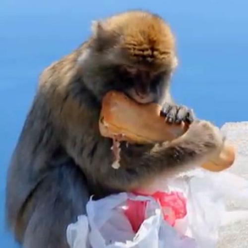 Scimmietta affamata si gode il panino con vista sul mare    ...