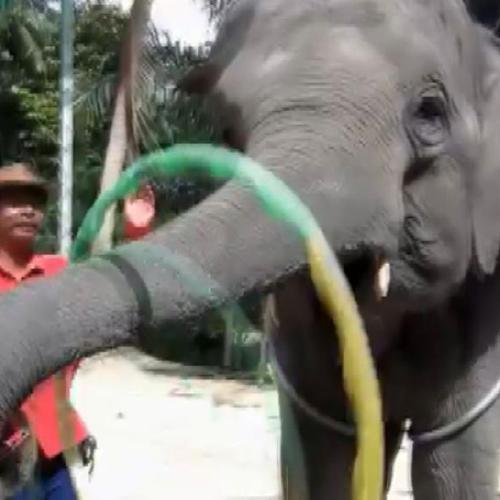 L'elefante che gioca con l'hula hoop