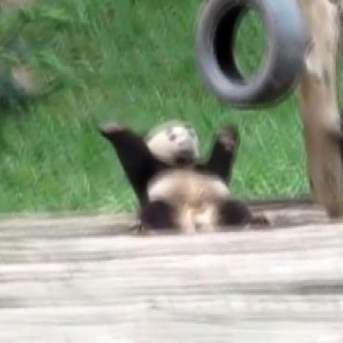 Il panda con la 'febbre'di John Travolta, ecco la ...
