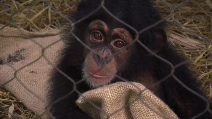 Costa d'Avorio, Ebola moltiplica abbandoni di animali ...
