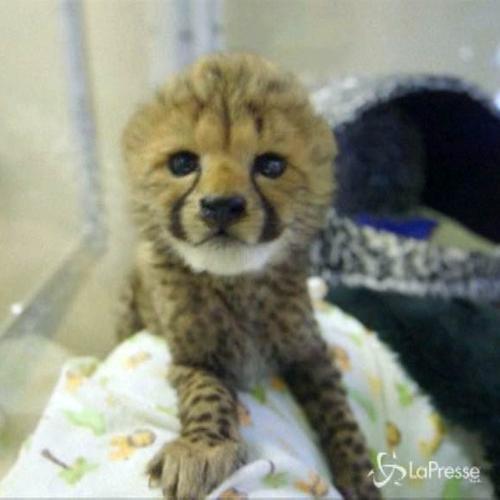 Cuccioli di ghepardo campioni di coccole, più ...