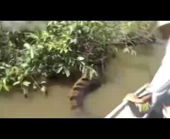 L'anaconda di quattro metri presa per la coda