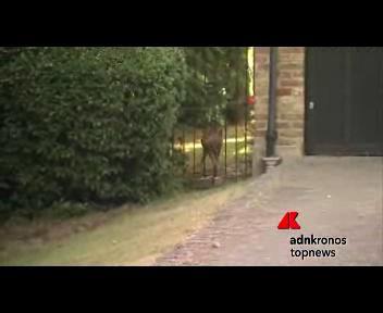 Il cerbiatto 'liberato' dalla Wildlife Aid Foundation