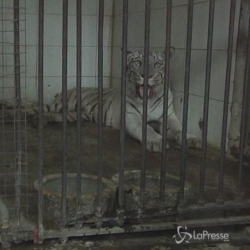 India, finisce nel recinto della tigre: muore un giovane ...