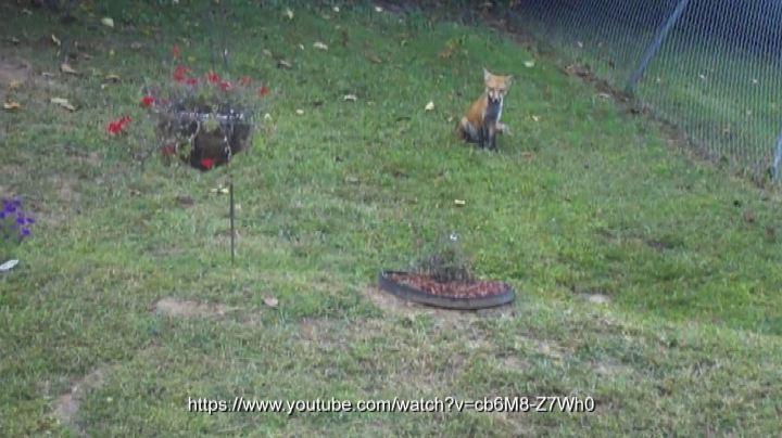 La volpe gioca con il pallone