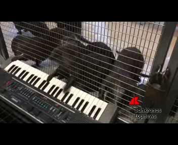 Concerto allo zoo Usa, alla tastiera le lontre