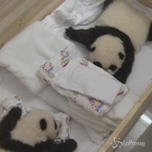 Cina, tre gemelli di panda compiono 2 mesi: primo caso ...