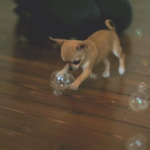 Cucciolo di Chihuahua cerca di prendere le bolle di sapone ...