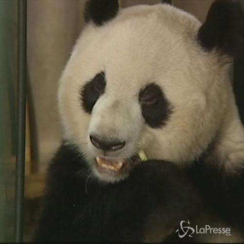 Mamma panda alle prese con le cure dei cuccioli gemelli in ...