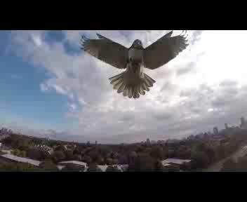 Il drone scambiato per preda, il falco lo attacca