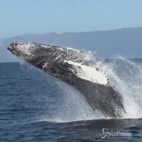 In California un programma salva balena: navi più lente ...
