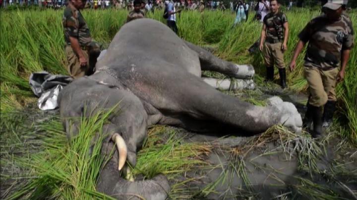 India, le barriere elettrificate che uccidono gli elefanti  ...
