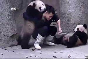 Il panda non ama le medicine, ma dopo un'estenuante lotta ...