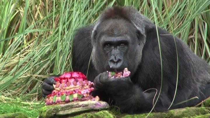 Zoo di Londra festeggia 40 anni della gorilla Zaire con ...