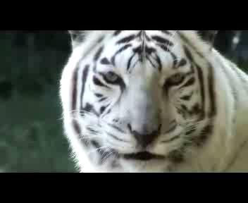 I palleggi alla Maradona della tigre bianca