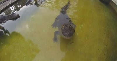 Il coccodrillo che non ama essere filmato