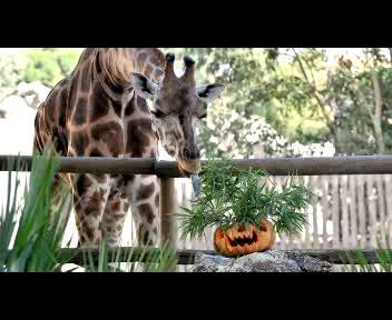 Halloween: zucche per le giraffe del Bioparco di Roma