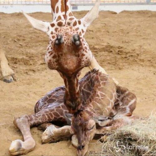 Fiocco azzurro allo zoo di Dallas: è nato un maschietto di ...