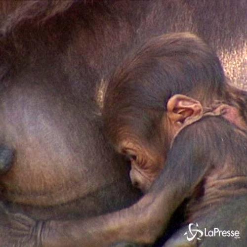 Baby gorilla debutta in società allo zoo di Sidney: ...