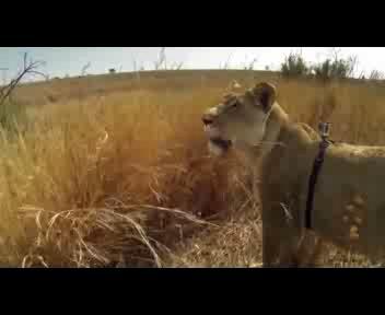 Leonessa a caccia con telecamera