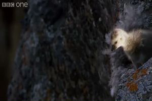 Si lancia dal nido su un dirupo, pulcino inspiegabilmente ...