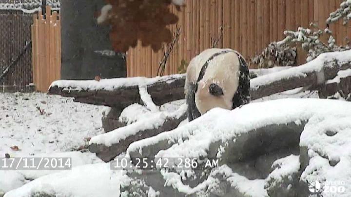 Il panda gigante gioca e rotola nella neve allo zoo di ...