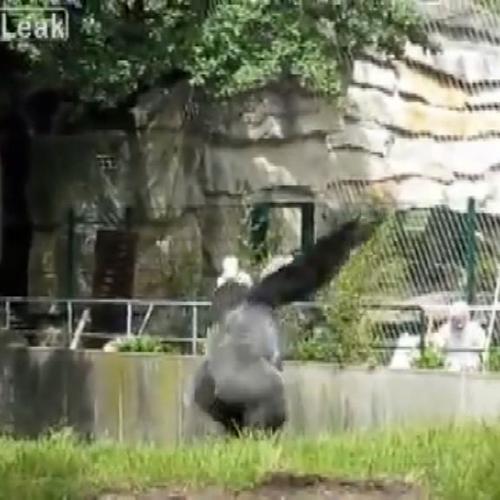 Berlino, il gorilla tira i sassi agli operatori