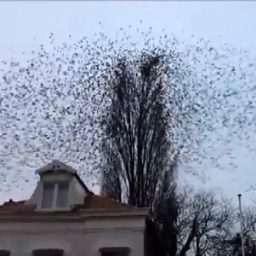 Il flash mob degli uccelli