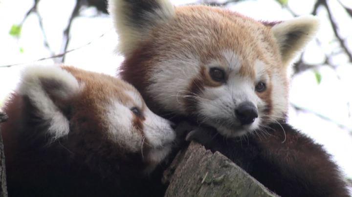 I gemelli di panda rosso Pim e Pam esplorano lo zoo - Nude ...