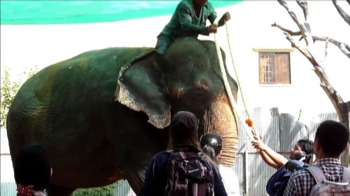 Cambogia, l'elefantina Sambo in pensione dopo 34 anni di ...