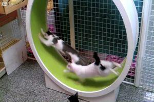 Gatti come criceti, anche loro amano la ruota