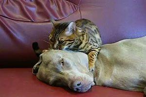 Non sempre sono nemici, un gatto regala un massaggio al ...