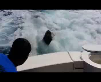 Quando il leone marino è affamato