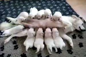 E' l'ora della pappa, cagnetta sfama i suoi 10 cuccioli